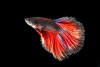 fighting-fish-2009972_1280-200x133